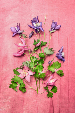over white: Garden colorful columbine flowers on pink shabby chic background, top view composing. Flat lay with flowers