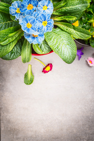 close up view: Blue primula flowers on gray background, top view, close up Stock Photo