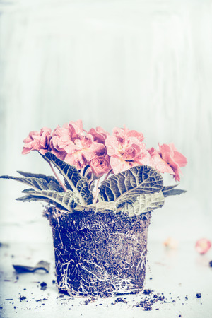 replanting: Primrose flower planting on light rustic background, retro toned