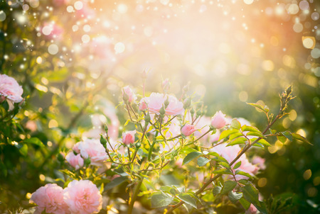 sunshine: Pink pale roses bush over summer garden or park nature background. Roses garden, outdoor with sunshine and bokeh