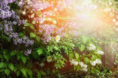 richly: Richly blooming lilac bush. Lilac flowers in garden or park.