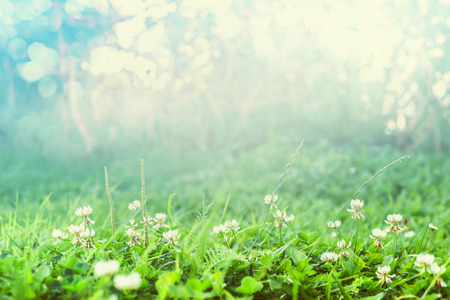 dutch clover: Wild clover blooming over matutinal nature background