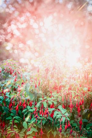 flores fucsia: Flores bastante arbusto fucsia en el jardín de verano o de fondo parque con sol y bokeh