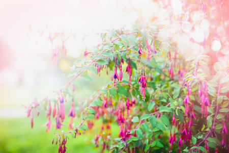 flores fucsia: Pink Fuchsia flowers on summer garden or park  background