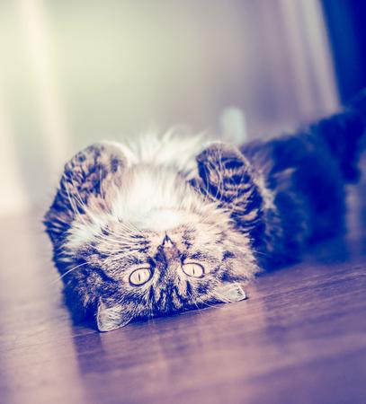 gato jugando: Esponjoso divertida del gato acostado y se vuelve de espaldas sobre el suelo de parquet y mirando a la cámara Foto de archivo