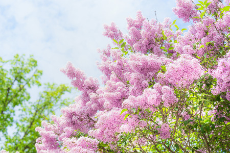 Lovely Lilac blooming over sky background. Outdoor nature background with  Lilac blossom in garden or park