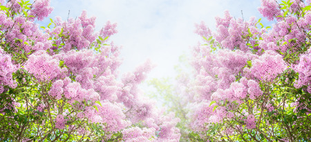Lilac bush over sky background. Lilac flowers in garden or park. Nature background, banner