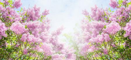 Lila struik over hemelachtergrond. Lilac bloemen in tuin of park. Natuur achtergrond, banner