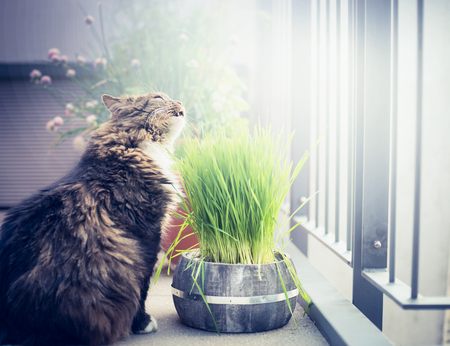 Domestic cat eating cat grass in pot on balcony.