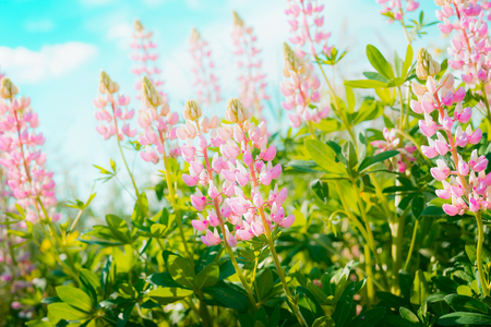 Pink lupins flowers at sky background, outdoor floral nature