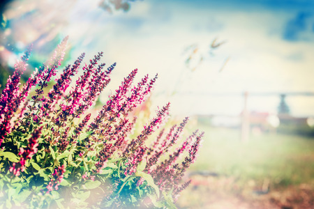 salvia: Wild sage blooming on blurred nature background, outdoor