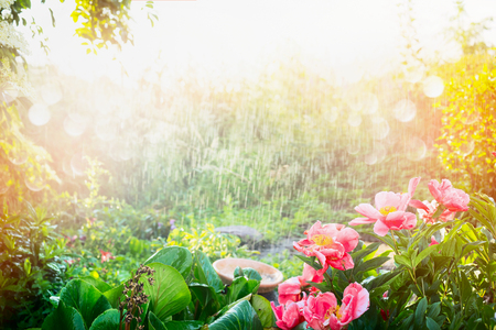 Sun shower in flower garden. Rain with sunshine in garden or park , outdoor nature background with pink flowers, and plants.