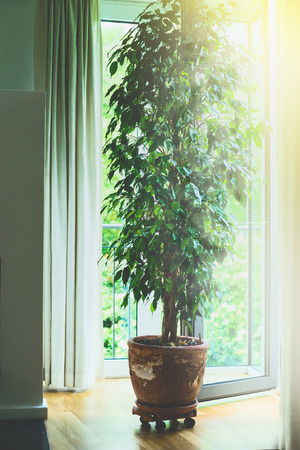 ficus: Benjamina ficus tree in old terracotta pot in living room at big window with sunlight. Home design, interior and decoration.