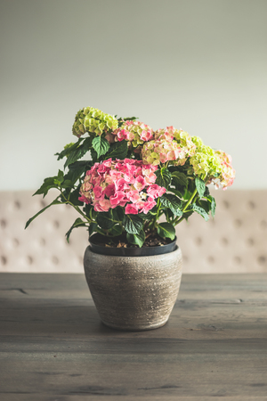 dinning table: Hydrangea flowers in pot on dinning table in living room, home decoration and interior, retro toned