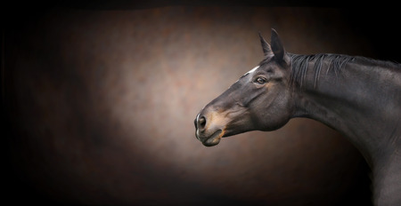 Beautiful black  horse head on dark background, banner