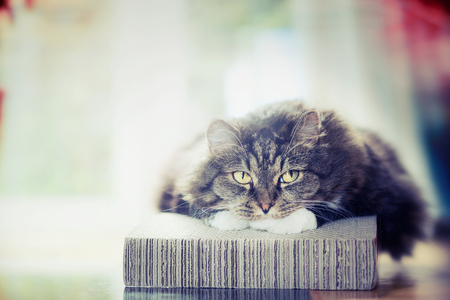 Thick fluffy cute cat lies and looks dreamily at camera