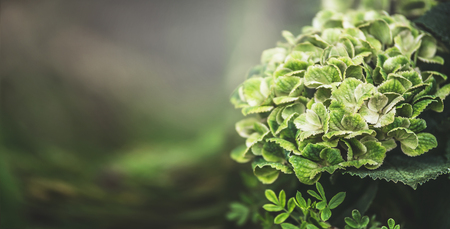 Green hydrangea blooming, floral nature background, outdoor, banner 写真素材