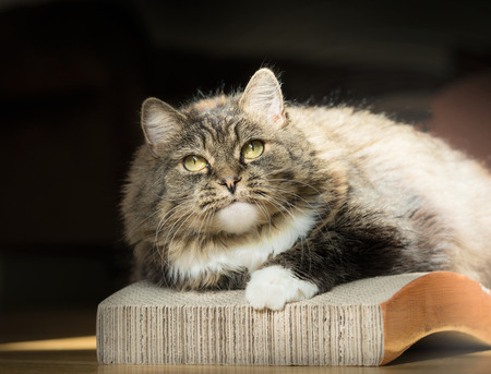 Thick fluffy cat on Cardboard Cat Scratcher