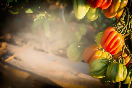 Ripe Organic Ox Heart Tomatoes Growing  in garden, outdoor