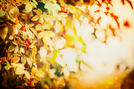 red rose bokeh: Autumn leaves in sunset light, fall nature background with bokeh
