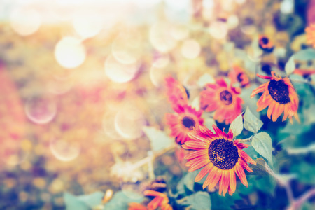 nature of sunlight: Autumn red sunflowers with bokeh and sunlight, outdoor fall nature background Stock Photo