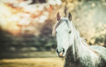 gray horse: Gray horse looking at camera on autumn nature background with sunlight and fall foliage Stock Photo