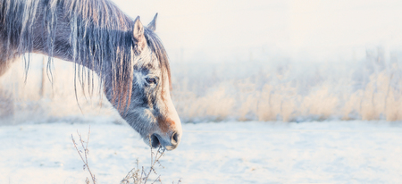 Horse head at frosty winter day nature background, banner Stock Photo
