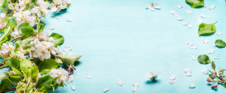 Spring blossom twigs on blue turquoise background, top view, banner. Springtime concept