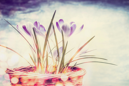 beauty in nature: Spring nature background with crocuses flowers and bokeh