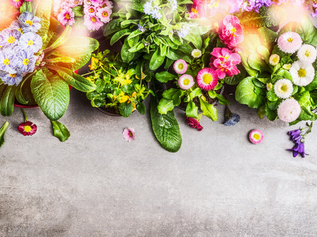 polyanthus: Various colorful spring or summer garden flowers with sunlight bokeh on concrete brick background, top view, border. Gardening concept