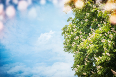 Big chestnut tree blossom at sky background with sunshine and bokeh, outdoor nature background Stock Photo