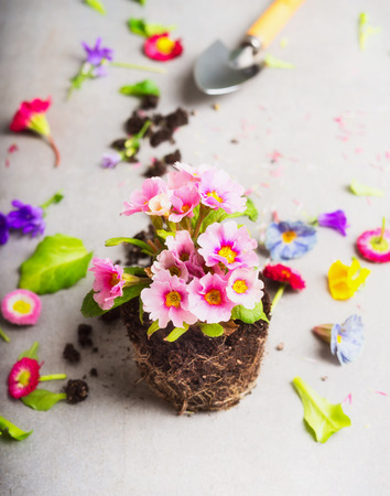 primulas: Pretty pink flowers with  root and garden shovel