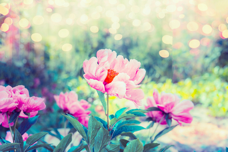 beauteous: Beauteous flowers garden with pink peonies flowers , greens and bokeh lighting, summer outdoor floral nature background