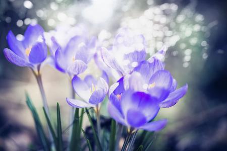 Croco meravigliosi che fioriscono, fondo all'aperto della natura della molla, fine su, illuminazione del bokeh Archivio Fotografico - 73211862
