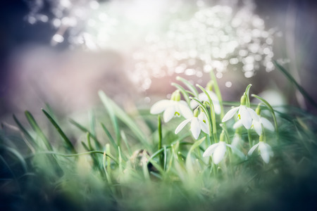 Close up of lovely  snowdrops flowers in grass with bokeh, spring outdoor nature background
