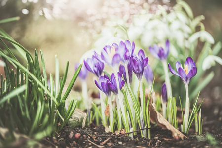 Pretty spring outdoor nature background with crocuses  flowers