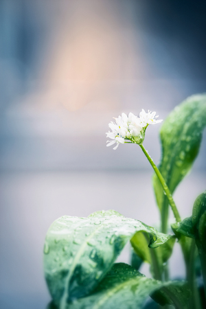 broadleaved tree: Wild garlic plant with blooming, close up, outdoor