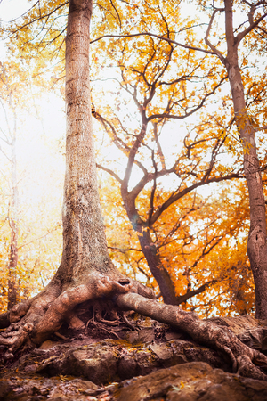 Big tree with free open roots in autumn park or forest Stock Photo