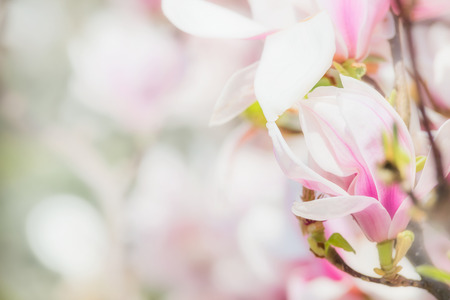 Delicate pink Magnolia flowers at blurred Blossom of Magnolia tree , springtime nature concept, floral border