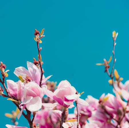 푸른 하늘 배경, 정원 또는 공원에서 봄 날 자연에서 목련 나무의 꽃