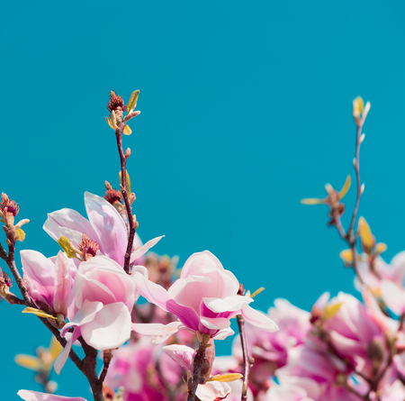 Blossom of Magnolia tree at blue sky background, springtime nature in garden or park