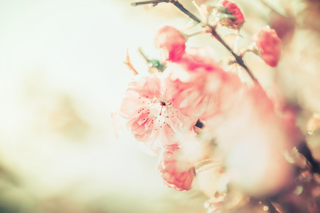 Lovely pink pale blossom at sunny day background, outdoor nature, floral border Stock Photo