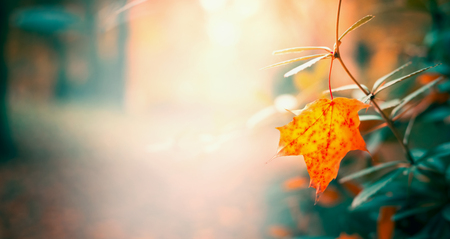 Beautiful leaves in autumn garden or park, fall nature background, banner Stock Photo