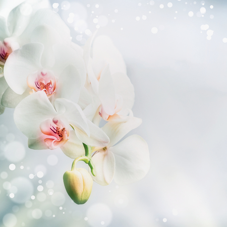 Close up of Beautiful white orchid flowers at blue background with bokeh. Nature , spa or wellness concept, floral border Stockfoto