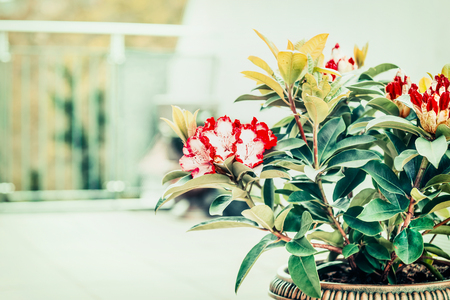 Rhododendron blooming on terrace or balcony. Container gardening with Rhododendron , front view