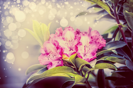 Lovely Rhododendron blooming with bokeh , close up,  garden flowers concept