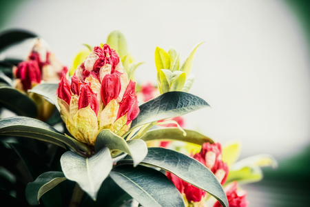Close up of Beautiful Rhododendron buds, outdoor nature, garden flowers concept