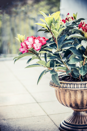 Pretty Rhododendron blooming in urn planter on terrace or balcony. Patio container gardening with Rhododendron , front view