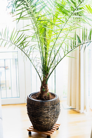 Date Palm In Patio Container At Window , Home Interior With Tropical Palm  Plant. Phoenix