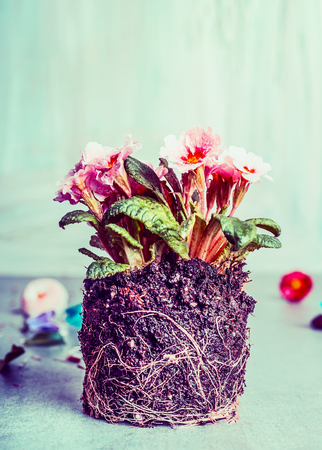 Primula flowers plant with dirt and roots  for planting, front view Stok Fotoğraf